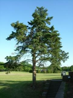 Ponca City Tree