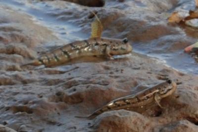 ... and Pengkalan Chepa mudskippers!